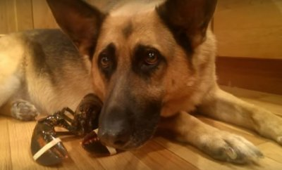 German shepherd thinks lobster is her own baby she won t for Lobster shepherd s pie